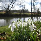 snowdrops by the river by Catherine Young