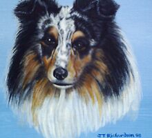 Jade Blue merle  sheltie by james thomas richardson