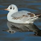 Gull Reflection by Robert Abraham