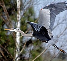 Off  Through the Trees the Great Blue Huron Flies by Chuck Gardner