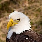 A very bald eagle. by Brandon Jones