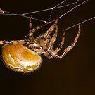 Orb-web spider by Gabor Pozsgai