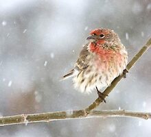 Snowy House Finch by Kim Barton