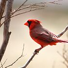 Cardinal in Texas by Kim Barton