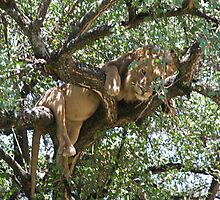Male Lion resting in tree by nickcastle