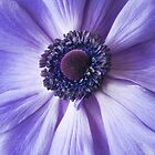 Blue Anemone by Colleen Farrell