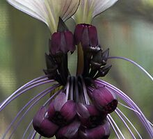 tacca - (bat flower) by picketty