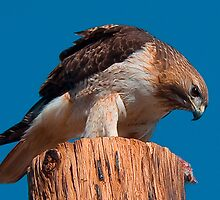 031509 Red Tailed Hawk by Marvin Collins
