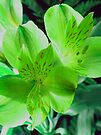 St. Patrick's Lilies by Orest Macina