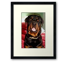 Head and Shoulders (Rottweiler Portrait) Framed Print