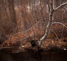 Birch by Daniel Wills