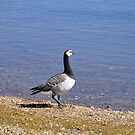 Barnacle Goose at Carsington Water by Rod Johnson