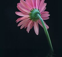 Gerbera daisy by bettywiley