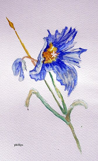 Floral Study Sketch - Blue Poppy by Jim Phillips