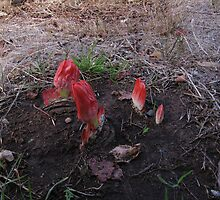 PAINT BRUSH! Blood Lily, Haemanthus coccineus. by Rita Blom