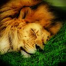 The Lion Sleeps Tonight by shutterbug2010