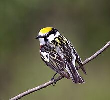 Flip Side Of The Chestnut Sided Warbler by Gary Fairhead