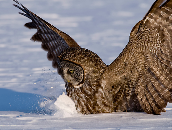 Great Gray Owl in Snow - Ottawa, Ontario by Michael Cummings