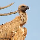 THE CAPE (Griffon)  VULTURE - Gyps coprotheres by Magaret Meintjes