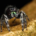 jumping spider body shot by Scott Thompson