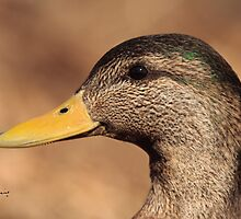 The Profile of a Hybrid ABD - American Black Duck by DigitallyStill