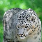 Snow Leopard by Tom Grieve