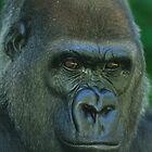 Western Lowland Gorilla Up Close by Tom Grieve