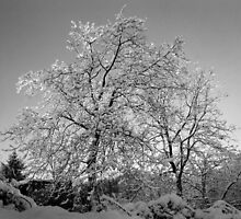 Trees in Snow - Borga Nari - Italia by lisac