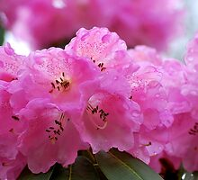 Pink Parade of Rhododendrons... by Carol Clifford