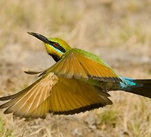 Rainbow Bee Eater (1 In A 1000 Photo) by Paul  Johnson