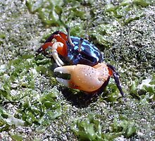 Fiddler Crab, Samal Island, Mindanao, Philippines by sahoaction
