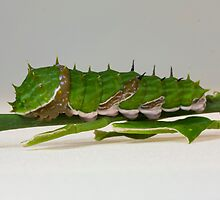 Citrus caterpillar at rest by Stephen Quennell