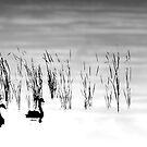 Black Swans by Elisabeth Ansley