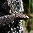Slinking Skink by Lawrie McConnell