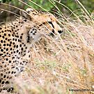THE CHEETAH - Acin0nyx jabatus, in hiding... by Magaret Meintjes