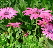 Magenta Africa Daisies by taiche