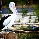 Pelican by James Troi
