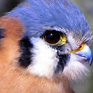 American Kestrel ~ Profile, Up Close by Kimberly Chadwick