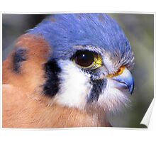 American Kestrel ~ Profile, Up Close Poster