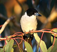 Australian Butcher Bird by Katherine Appleby