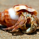Crowdy Bay Hermit Crab by Normf