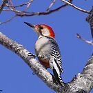 Red Bellied woodpecker by Dennis Cheeseman