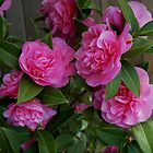 Camellias at Starbuck&#x27;s by Marjorie Wallace