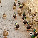 Ducks in a Row by Tracy Riddell