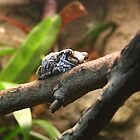 Amazon Milk Frog by Laurel Talabere