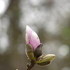 Saucer Magnolia Pink Bud - Hot Springs National Park, Arkansas by Lee Hiller-London