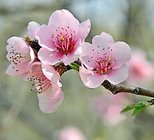 Peach Tree Blossoms by Nick Conde-Dudding