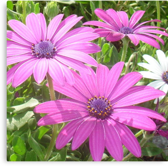 Purple And Pink Tropical Daisy Flower by taiche