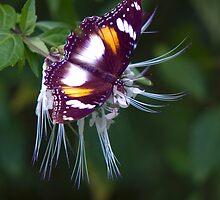 Wingspan - Common Eggfly Butterfly by Jenny Dean