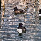 Tufted Ducks by Susie Peek